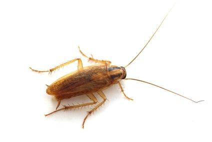 What do house roaches look like
